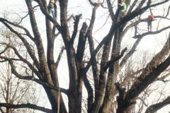031_Willow-Oak_Full-Tree-demolition_Original-Photo