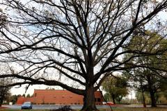 032_Bur-Oak_Entire-tree_Updated-Photo-2019