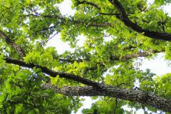 032_Bur-Oak_Limbs_Updated-photo-2020-1