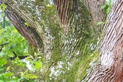 032_Bur-Oak_Moss-on-trunk_Updated-photo-2020