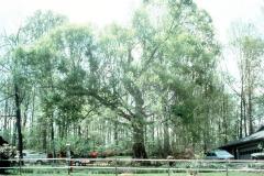 033_American-Beech_Full-Tree_Original-Photo