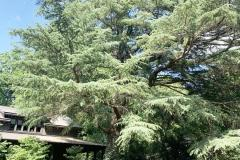 035_Deodar-Cedar_Entire-Tree_Updated-photo-2020-1