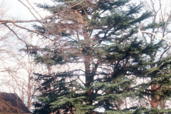 035_Deodar-Cedar_Full-Tree_Original-Photo