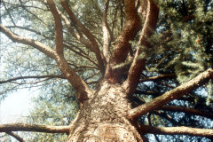 035_Deodar-Cedar_Trunk-and-canopy_Original-Photo