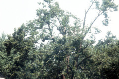 036-Crimean-Linden_Full-Tree-view-from-street_Original-Photo