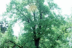 036-Crimean-Linden_Full-Tree_Original-Photo