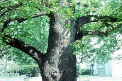 036-Crimean-Linden_Trunk_Original-Photo