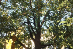 036_Crimean-Linden_Entire-tree_Updated-photo-2019