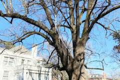 036_Crimean-Linden_Entire-tree_Updated-photo-2019.jpg