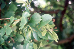 036_Crimean-Linden_Leaves-and-small-branches_Original-Photo