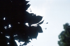 036_Crimean-Linden_leaves-and-sky_Original-Photo
