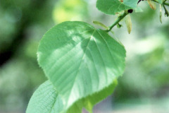 036_Crimean-Linden_leaves_Original-Photo