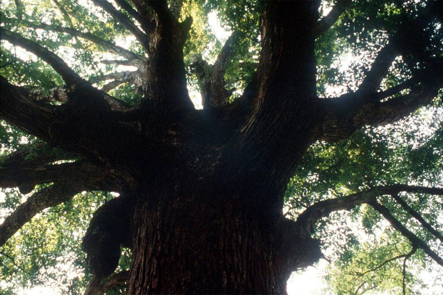 037_White-Oak_Trunk-and-canopy_Original-Photo
