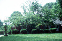 040_American-Hornbeam_Full-Tree_Original-Photo