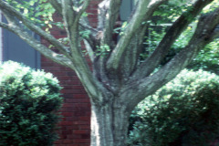 1_040_American-Hornbeam_Trunk_Original-Photo
