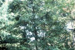 041_Dahoon-Holly_Full-Tree_Original-Photo