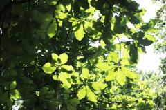 043_Big-Leaf-Magnolia_Canopy_Updated-photo-2020