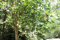 043_Big-Leaf-Magnolia_Entire-Tree_Updated-photo-2020