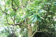 043_Big-Leaf-Magnolia_Entire-Tree_Updated-photo-20201