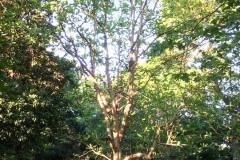 043_Big-Leaf-Magnolia_Entire-tree_Updated-photo-2018