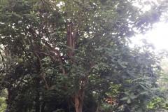 043_Big-Leaf-Magnolia_Entire-tree_Updated-photo-20181