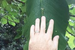 043_Big-Leaf-Magnolia_Foliage-size_Updated-photo-2018