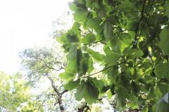 043_Big-Leaf-Magnolia_Foliage_Updated-photo-2020