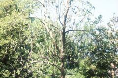 043_Big-Leaf-Magnolia_Full-Tree_Original-Photo