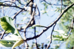 043_Big-Leaf-Magnolia_Leaves_Original-Photo