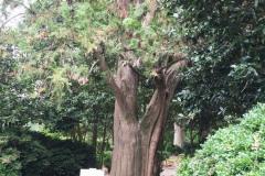 044_Oriental-Arborvitae_Trunk_Updated-Photo-2019
