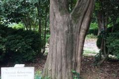 044_Oriental-Arborvitae_Trunk_Updated-Photo-20191