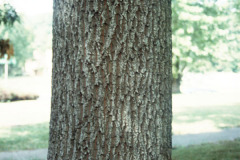 047_Sawtooth-Oak_Trunk_Original-Photo