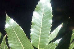 047_Sawtooth-Oak_leaves_Original-Photo