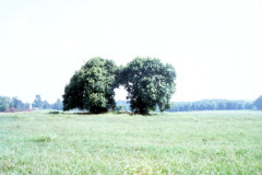 050_Osage-Orange_Sister-trees_Original-Photo