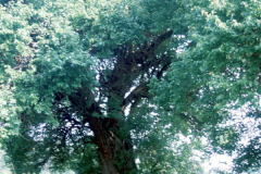 050_Osage-Orange_Whole-tree_Original-Photo