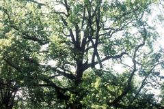 053_Sweetgum_Whole-tree_Original-Photo