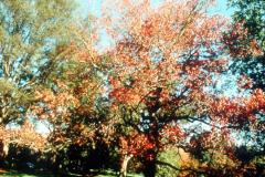 053_Sweetgum_leaves-in-autumn_Original-Photo