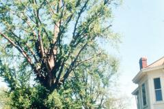 056_Ginkgo_whole-tree_Original-Photo