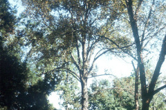 058_Shagbark-Hickory_Whole-tree_Original-Photo