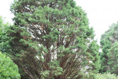 059_Leyland-Cypress_Entire-Tree_Updated-photo-2020