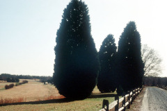 059_Leyland-Cypress_Entire-tree_Original-Photo