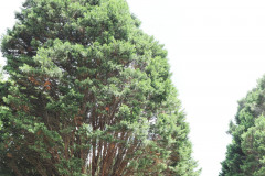 059_Leyland-Cypress_Entire-tree_Updated-photo-2019