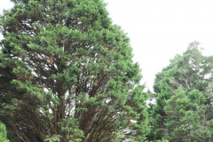 059_Leyland-Cypress_Entire-tree_Updated-photo-20191
