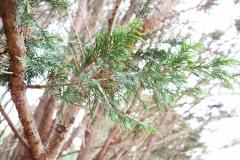 059_Leyland-Cypress_Foliage_Updated-photo-2019