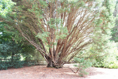 059_Leyland-Cypress_Trunk-measuring_Updated-photo-2019