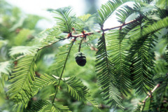 060_Dawn-Redwood_Foliage-and-pine-cone_Original-Photo
