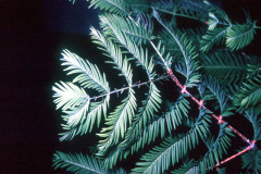 060_Dawn-Redwood_Foliage_Original-Photo