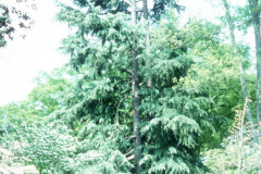 061_Deodar-Cedar_Full-Tree_Original-Photo