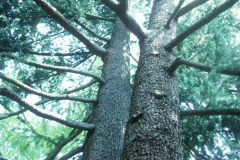 061_Deodar-Cedar_Trunk-with-canopy_Original-Photo