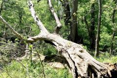 062_Boxelder_Entire-tree_Updated-photo-2020